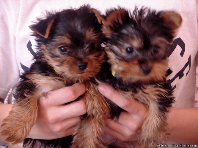 15 cute yorkshire terrier puppies text us at (682) 628-6305