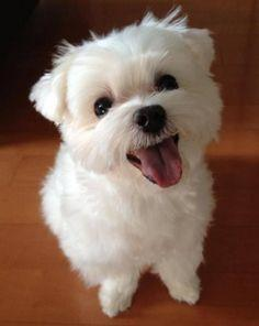 LLovely Male and Female Maltese puppies Available