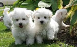 Maltese pups one male and two female available contact