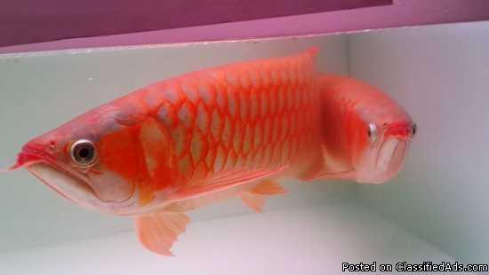 Super Red Arowana Fish and others