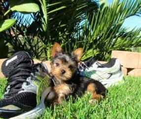 Teacup tea-cup yorkie puppies for Christmas Text us at (701) 575-7759