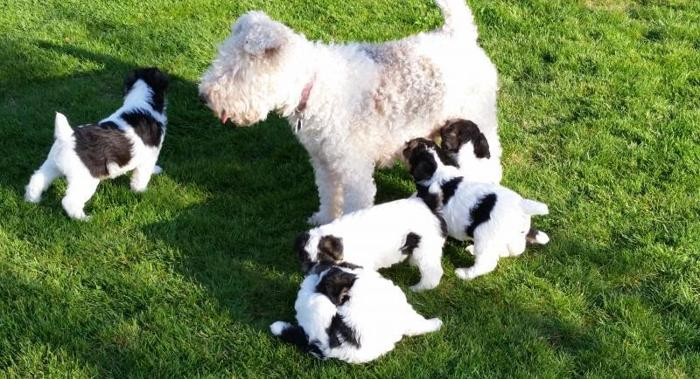 Wire Fox Terrier Pups AKC Registered