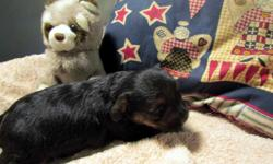 These darling YorkiePoo puppies were born on 6/8/11 & will be ready to go home around 7/29/11. Tails Docked. CKC Reg. UTD on shots & dewormings. 2 females available. These puppies are $400. www.toybreedpuppies.4t.com
