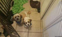 I have two 6 month old Shih Tzu Bichon mix puppies for sale,brothers. Nearly potty trained (receive treats after coming inside from potty). I don't have time they need. I would love for both to go together as they are playful with each other.