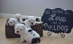 2 female Puppies will be available when they are 9 weeks old .They carry black, blue & tri markings. Serious buyers only.