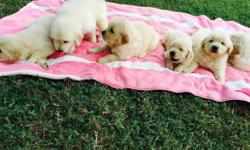 BEAUTIFUL GOLDEN RETRIEVER PUPPIES WILL BE 8 WEEKS OLD AUGUST 5TH AND READY FOR NEW FAMILIES 2 FEMALE & 2 MALE PARENTS ON PREMISES DAD OFA CERTIFIED CHAMPIONSHIP BLOODLINE FIRST SHOTS DEWORMED DEW CLAWS REMOVED.