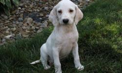 Hi There, I'm Angie! The sweet and caring liver spottedFemale AKC Dalmatian! I was born on June 8, 2016. Mom weighs 48 lbs and my dad weighs 75 lbs. I can't wait to meet my new family! They're asking $595.00 for me! I will come with my shots and