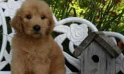 Hiya There! I am Annie, the precious gold female Goldendoodle.I was born on June 13, 2016 andI weigh 5.9 lbs right now.My mom is Gold AKC Golden Retriever and weighs 65 lbs. My Dad is a Apricot AKC Standard Poodle and Weighs 75