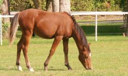 A beautiful Arabian Gelding for sale Tango is born Dec 13, 2011 and a great personality handles well and great around other horses.