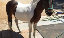 Beautiful Flashy American Shetland Pinto Gelding for Sale. 5 years old (DOB 07/08/2011). 10 hands. Will make perfect driving pony or riding pony for confident rider. Bay and white coat w/ black and white mane and tail. No Vices, stands for farrier, sound,