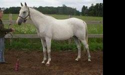 Rose is a lovely horse that just needs her own person to bond with. Rose is very willing to work but because she does get anxious and test her rider she requires an experienced, confident, quiet, but firm rider. She is responsive to leg aids and when