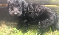 Hiya! I'm Berta, the most adorableF1bfemale Labradoodle! I'll come home with shots and wormed to date.I was born on June 10, 2016.I have always wanted a family to watch over and keep safe.They're asking $750.00for