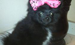 Ihave a beautiful black pomeranion she's only 3months old. She's great with kids. Very playful. Potty trained. Does not bark. Got a new apartment dogs not allowed. Small rehoming fee required. Please contact me my name is Nicole cell---