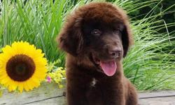 Hi there! I'm Blake, the charming male Newfoundland AKC! I was born on May 17, 2016 andI am family raised.I'll come home with shots and worming to date.I get a long well with children and other pets.They're asking $950.00for