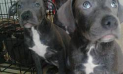 Beautiful Blue American Staffordshire Terriers! Female. Very Modestly Priced $200 Call 770-374-3595 for details.