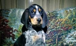 Blue tick , is 7 months old and needing a good home with land .. If Interested please call at Dwayne 618-420-4712