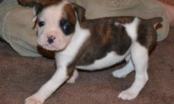 I have 7 Bulloxer Hybrid Puppies available. 4 males, 3 females. Variety of colors and markings! Tails docked and dew-claws removed. Mom is Pure Reverse Brindle Boxer; Dad is pure tan and white American Bulldog. This is a safe and Recognized Hybrid by ALL