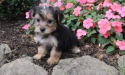 Ellos! I'm Candy, the cutest black and tan female Morkie! Can you deny it? I thought not! I was born on June 7, 2016 and my parents 9 & 7 lbs. They're asking $599.00 for me.! I'll come with shots and worming to date! Do you think I'm most sweetest pup