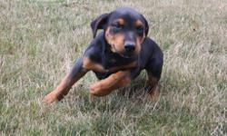 Chase is an black and tan Rottweiler male. He will fill your home with fun and laughter. He was born on May 29, 2016. He just can't wait to be part of your caring family. He is good around kids and other animals. They are asking $550.00 He will