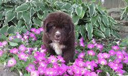 Hi there! I'm Conner, the playful male Newfoundland AKC!I can help you start your morning; let's walk and talk!I was born on June 14, 2016.They're asking $1199.00 for me! I'll come home with shots and worming to date. If you like some