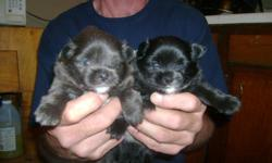 2 male crested pom puppies for sale 1 black with white markings and 1 rare smokey gray with white markings will be very small under 9 pounds most likely minatures. no papers. dad akc and ckc mom is not $250 obo 563-514-8089 will be ready in 3 weeks little