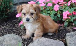 Yo! How you doin? I'm Dallas, the charming tan and white with dusting of black male Morkie!  I like to snuggle up in a lap and play ball. I was born on June 7, 2016 and my parents 9 & 7 lbs. They're asking $599.00 for me.! I'll come with shots and