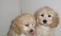 ..>Dans Kennels..>has COCK-A-POO Puppies for Sale..> licsensed with NYS:) PD#0003