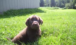 Labrador Retriever ..>Puppy @ dans kennel..> licensed Breeder PD#0003..>males and females ..>CHOCOLATE AKC