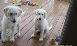 CKC, Allergy-Friendly.Little to no shedding, easy to train, calm, very loyal, I am a small town breeder. These Puppies are all raised from my home, with children and other pets too. They have been Vet check and have had 3 sets of shots and wormed every 2