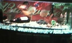 75 gallon Fish tank + STAND FISH / 4 oscars 1/ jack demsie/ 1 bottom fidder 2 filters------marineland penguin Bio wheel 350 + A penn plax casscade 400 internal filter FISH tank stand was black but now is red 1 heater FISH TANK & satnd was black but now is