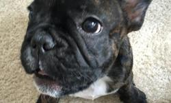 Looking to sell French Bulldog brindle (born 5/3/16) documentation: health certificate, veterinarian examination, vaccinations included currently 12 weeks old pictures available upon request travel crate and other items included Please email at