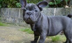 French Bulldog puppies 11 weeks old. Vaccinated first shot ready. dewormed. Adorable pups ready to find good loving homes boy and girl available. Adoption fee negotiable. Please Email for more information or call 404 x 890 x 5091