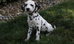Hi There, I'm Jill! The caring black and white spotted female AKC Dalmatian! I was born on June 8, 2016. Mom weighs 48 lbs and my dad weighs 75 lbs. I can't wait to be apart of a family and have place to see sleep that is just all mine! They're asking