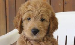 Yo! I'm Jimmy, the male F1 Goldendoodle. I'm full of joy and love, can't get enough attention. I was born on June 9, 2016, my mom is 56 lbs and dad is 60 lbs. They are asking $799.00 for me.I'll come with shots and worming to date! If you think that