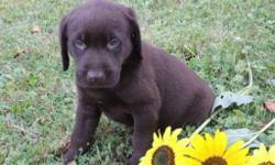 Hallo! I'm Jordan, the fun-loving chocolate AKC Chocolate male Labrador Retriever! I was born on June 12, 2016! I'll come vet checked, with my shots and worming to date. I am playful, smart, kind and always be by your side..They're asking