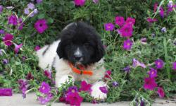 Howdy! I'm Kate, the black and white female AKC Newfoundland! I was born on June 6, 2016!I'll come with shots and worming to date. You know I wish I could find that one family who will love, care for me always.They're asking $1199.00 for