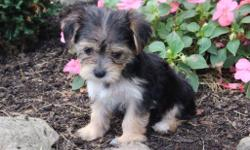 Hello. . . Hello it's me, Kendra! The adorably sweet tri-color female Morkie! I was born on June 7, 2016 and my parents 9 & 7 lbs. They're asking $599.00for me.! I just can't wait to meet my new family. . . I get so excited just thinking about what