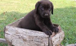 Howdy! I'm Kenny, the delightful chocolate AKC Chocolate male Labrador Retriever! I was born on June 12, 2016! I'll come vet checked, with my shots and worming to date. I am smart, kind, outgoing and always want to be with you..They're asking