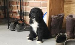 Howdy ya'll! I'm Lacey, the female Bernadoodle. I am a designer breed between a Standard Poodle and Bernese Mountain Dog. I just can't wait to have a family of my own to watch over and love forever!I was born on June 9, 2016. They're asking $850.00