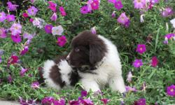Howdy Ya'll! I'm Lizzy, the affectionate, brown and white female AKC Newfoundland! I was born on June 6, 2016!I'll come with shots and worming to date. I love to take walks, play fetch, having my belly rubbed and being told I am a good