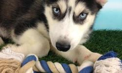 Yo! How you doing? I'm Loki, the stunning black and white ACA male Siberian Husky! I was born on May 22, 2016. I can't wait to have a family of my own! They're asking $750.00 for me! I'll come with shots and worming to date! Do you find me specially