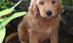 YO! I am Marley, the enchanting red and white male Goldendoodle. I was born on June 13, 2016 and I weigh 7.7 lbs. right now. My mom is Gold AKC Golden Retriever and weighs 65 lbs. My Dad is a Apricot AKC Standard Poodle and Weighs 75