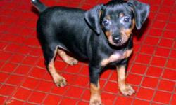 AKC Registered Min Pin puppies available for sale. Males and Females. Ready to go home now. Tails docked and dew claws removed. Up to date on shots and deworming