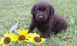 Hiya! I'm Mindy, the delightful chocolate AKC Chocolate female Labrador Retriever! I was born on June 12, 2016! I'll come vet checked, with my shots and worming to date. They are asking 650.00 for me. Do you like to go hiking and then swimming