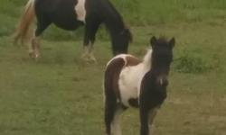 1 Mare with newborn 2week old colt both oreo paint. Mare is 12. Has been a fair pony for kids to ride. Very calm and kid safe. Asking $375. Will deliver. Also have her weined yearling stud colt $100 very friendly exspecially with children. This Colt is