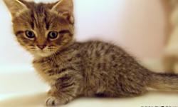 Only One Minipaw left!! Have you ever dreamt about owning the tiniest Sterling Persian? Hurry, because this female won't last. Minipaws have the best traits from the Minskinand the Sterling Persian because that is exactly what a Minipaw is.