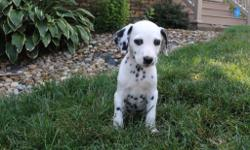 Hello There, I'm Mitch, the wonderful male AKC Dalmatian! I was born on June 8, 2016.Mom weighs 48 lbs and my dad weighs 75 lbs.They're asking $795.00for me! I will come with my shots and worming to date!I love to play ball,