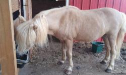 Beautiful palomino pony. 18 years old. In great health and great shape. He was used most of his years travelling in a pony ride business. He has not been ridden for several years but he is very gentle and loves attention. His name is Dennis the