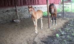 We have two beautiful SE Arabian colts, will be greys when mature, they can be weaned in July. Very excellent breeding, they can be registered, great conformation, will mature 15 hands. They have been handled since born, very friendly and Love attention!