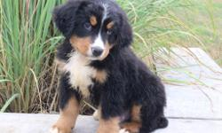 Meet Quin! He is a charming tri-color male AKC Bernese Mountain Dog! This little one is affectionate, loves to play and take walks to the park. He was born onJune3, 2016. His momweighs85 lbs and is AKC registered. His dad weighs 95